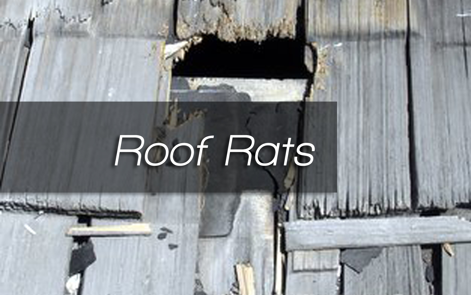 Roof Rats – Article by Jim Fontaine